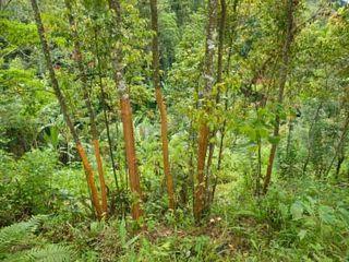 Cinnamon-trees