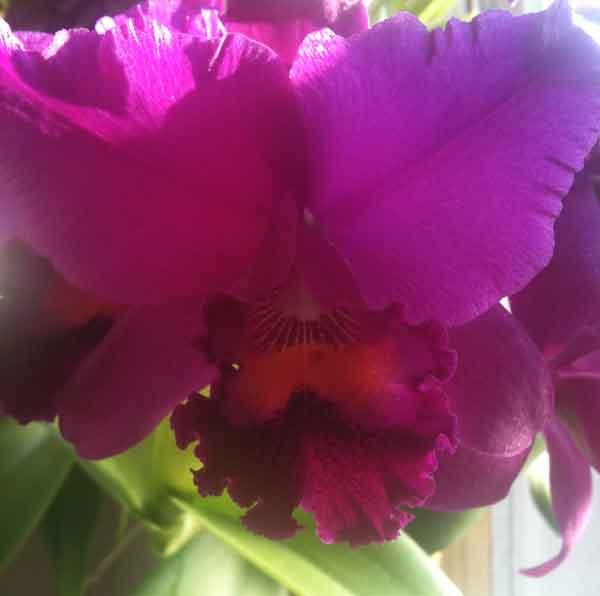 Orchid_black_cesear_600px