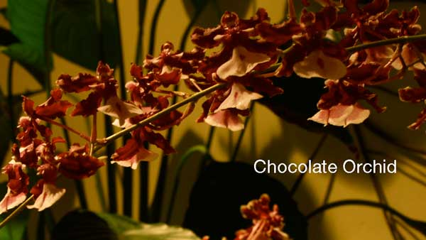 Chocolate-Orchid